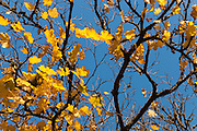 Late Autumn golden leaves