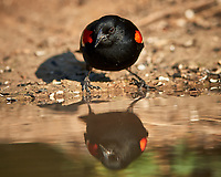 Red-winged Blackbird (Agelaius phoeniceus). Campos Viejos, Texas. Image taken with a Nikon D800 camera and 400 mm f/2.8 lens.
