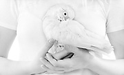Peaches, a Goffin's Cockatoo (Cacatua goffiniana), nestled in Tanja's hands. Planet Rehab animal sanctuary, San Dimas, California.