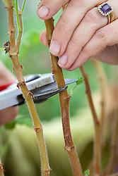 Taking pelargonium cuttings. Cutting just above a shoot