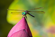 Dragonfly on waterlily at the Dallas Arboretum in Dallas, Texas