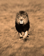 Image of a male lion (panthera leo) portrait and running at the Masai Mara National Reserve in Kenya, Africa by Randy Wells