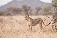 A lioness scans for prey as dusk falls in Samburu National reserve, Kenya