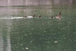 THEMENBILD - eine Stockente schwimmt mit ihrem Entennachwuchs auf einem See, aufgenommen am 09. Juni 2019, Kaprun, Österreich // a mallard duck swims with its duck offspring on a lake on 2019/06/09, Kaprun, Austria. EXPA Pictures © 2019, PhotoCredit: EXPA/ Stefanie Oberhauser