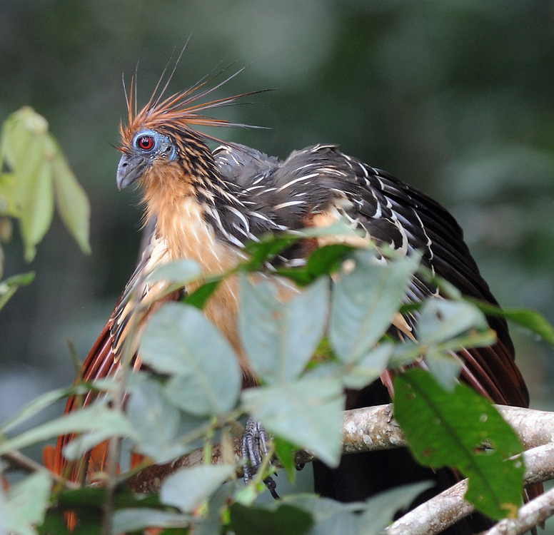 A hoatzin (Opisthocomus hoazin), stinkbird, Canje pheasant, or stinking turkey amongst the leaves that form the main part of its diet. Yasuni National Park, Amazon, Ecuador.
