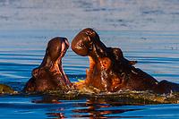 Two hippos splashing, Okavango Delta, Botswana.