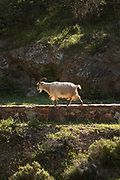 Goat on wall surrounding road, Calanches de Piana, Corsica, France