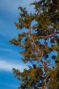 USA, Oregon, Madras, pine tree at sunrise.
