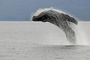 Humpback Whales Breeching, Alaska