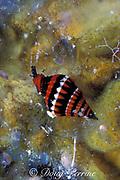white lined mitre,<br /> Vexillum albocinctum, a marine snail or gastropod,<br /> Bahamas ( Western Atlantic Ocean )