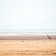 A solitary giraffe walks past the salt lake in the distance at Lake Manyara National Park in northern Tanzania.