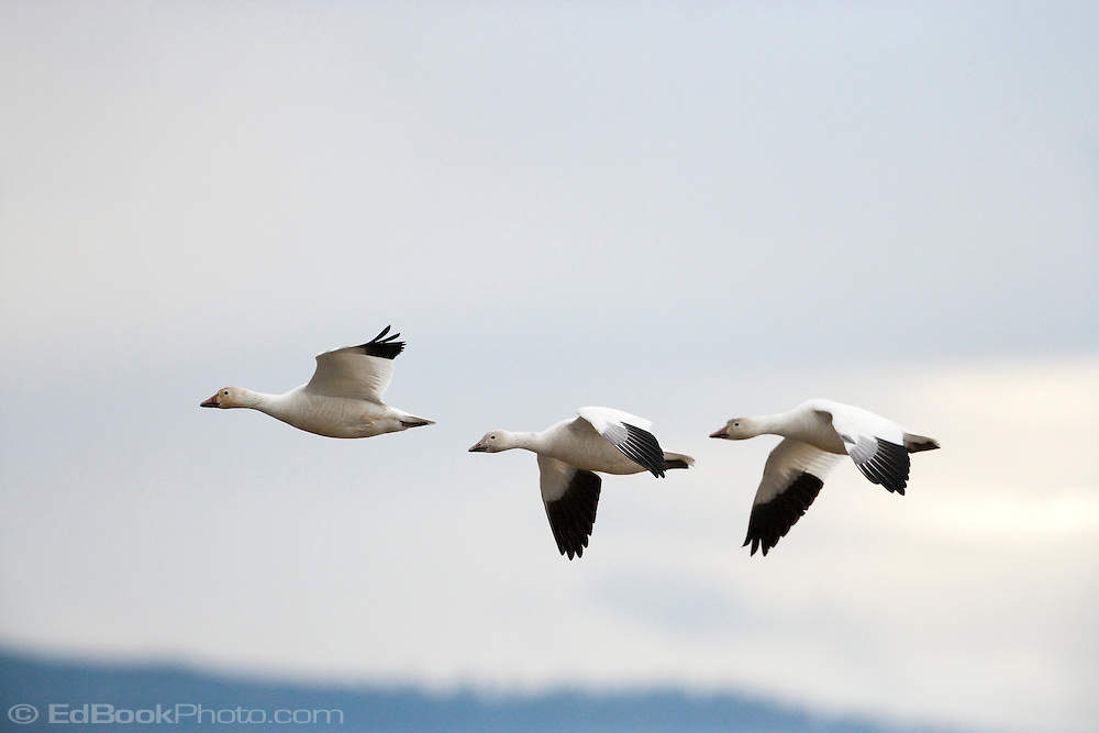 Snow Geese (Chen caerulescens) fly in formation close to each other to reduce air resistance while wintering at Fir Island in the Skagit River Delta at Puget Sound in Washington state, USA.