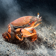 This is a red frog spanner crab (Ranina ranina) walking across sandy substrate at high speed. When it emerges from the sand, this crab moves along the sea floor with forward motion, unusual among the true crabs. This species is the only extant member of its genus and is considered a delicacy in many countries.