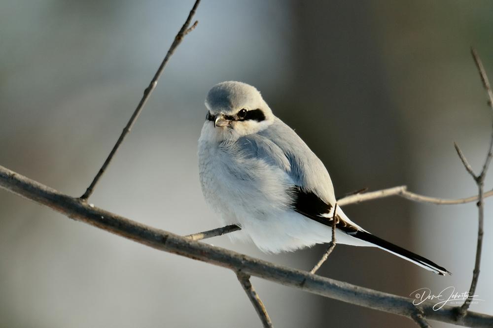 Great Grey Shrike, Northern Grey Shrike, or Northern Shrike (Lanius excubitor), Greater Sudbury (Lively), Ontario, Canada