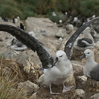 A fledgling Black-Browed Albatross tests its wings in a rookery called the Devil's Nose on West Point Island in Britain's Falkland Islands.