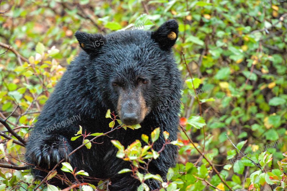 American black bear (Ursus americanus) in a hawthorne bush, feeding on berries in the Fall, Grand Teton National Park, Wyoming.