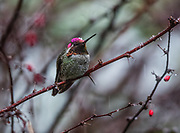 Anna's hummingbirds have becomeyear-round residents thanks in part to backyard hummingbird feeders. (Steve Ringman / The Seattle Times)
