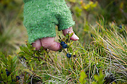 Parmenter Welty picks blueberries on a hike near Munkebu Hut on Moskenesoya, Lofoten Islands, Norway.