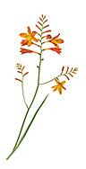 Montbretia - Crocosmia x crocosmiflora