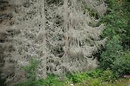 Result of bark beetle work, North Velebit National Park, Velebit Nature Park, Dalmatian coast, Adriatic sea, Croatia