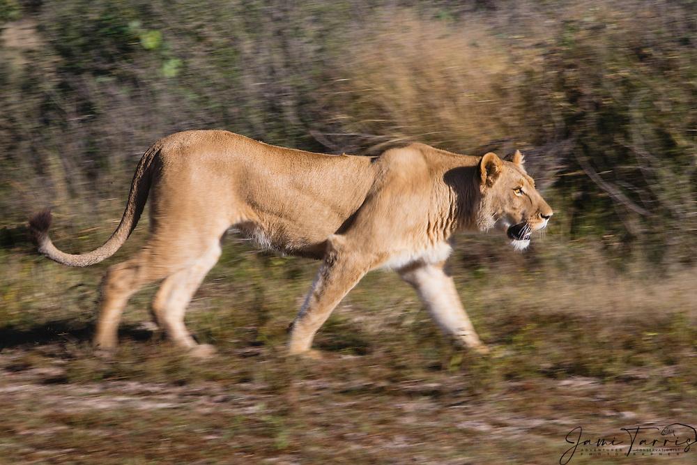 Motion blur of a lioness walking (Panthera leo), Kalahari Desert, Botswana Africa