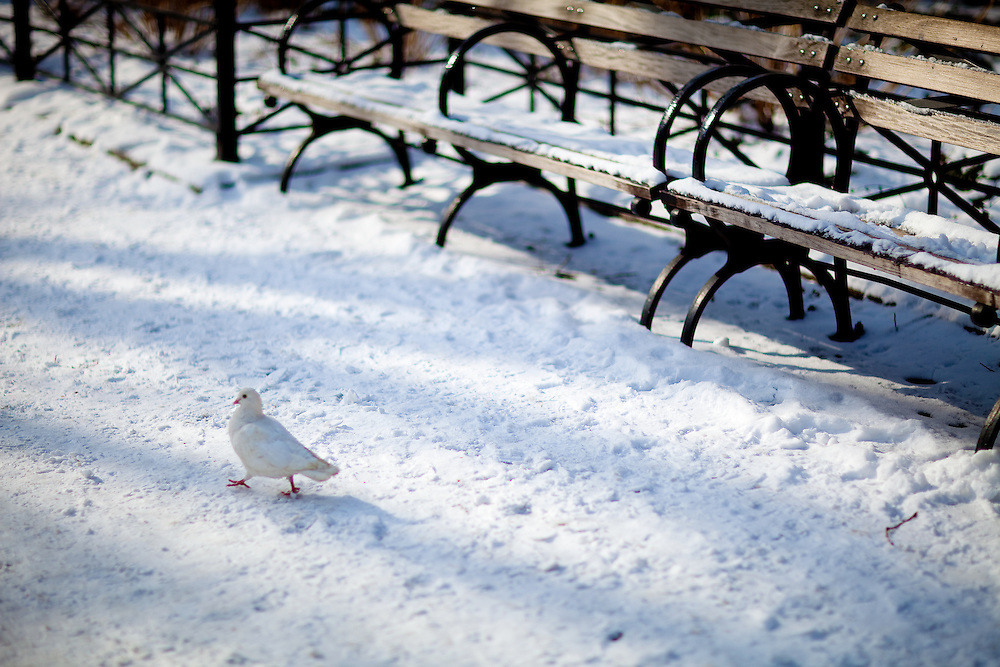 White pigeon walking near park benches at Union Square Park after a snowfall.