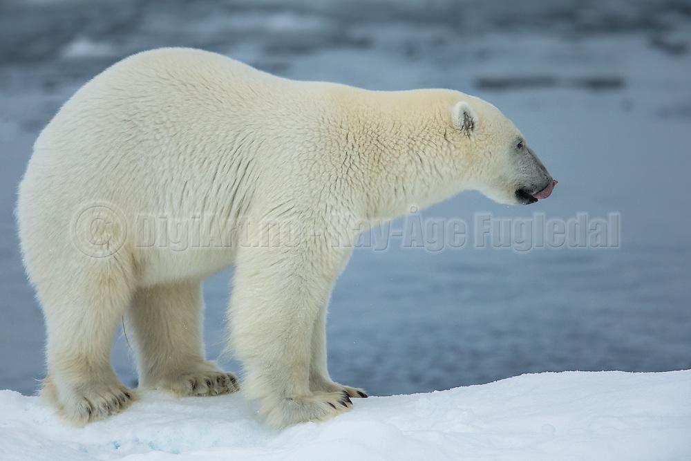 Do not mess wit a polar bear, at least not the one that licks his lips   Ikke kødd med en isbjørn,  i hvertfall ikke den som slikker seg rundt munnen