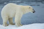 Do not mess wit a polar bear, at least not the one that licks his lips | Ikke kødd med en isbjørn,  i hvertfall ikke den som slikker seg rundt munnen