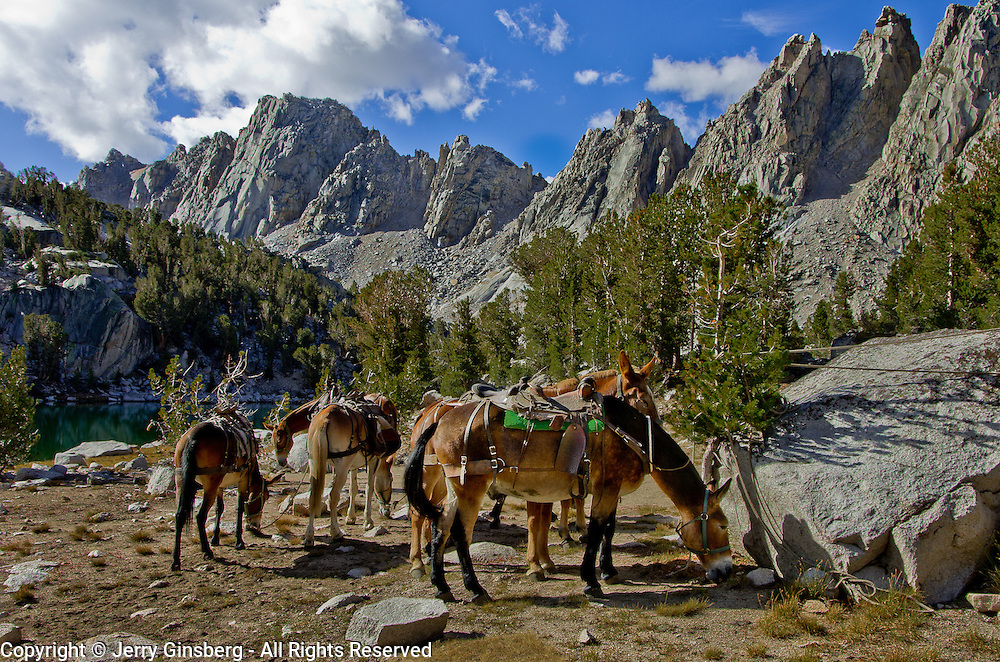 Mules of the train having breakfast below the Kearsarge Pinnacles. Horse and mule pack trains, like something straight out of the Old West, still ply the steep trails of the High Sierra in King's Canyon National Park.