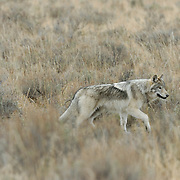 Gray Wolf (Canis lupus) running in Yellowstone National Park during the fall.