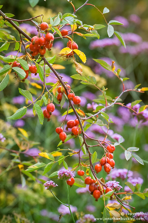 Rosa rubrifolia syn. R.glauca hips with Verbena bonariensis in the background