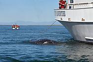 Gray Whale - Eschrichtius robustus
