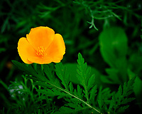 California Poppy flower. Image taken with a Fuji X-H1 camera and 80 mm f/2.8 OIS macro lens.