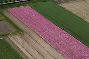 Nederland, Zeeland, Tholen, 12-06-2009; bloembollenveld met paars-rode bloembollen (hyacinten?) op het eiland Tholen.Swart collectie, luchtfoto (25 procent toeslag); Swart Collection, aerial photo (additional fee required).foto Siebe Swart / photo Siebe Swart