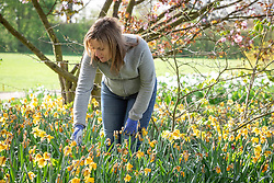 Deadheading daffodils after they have finished flowering