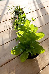 Salad leaves sown into gutter pipe for easy tranfer to garden