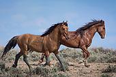 Wild Horses of Sand Wash Basin 2018