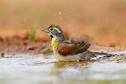 Dickcissel bathing in pond