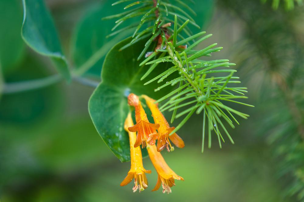 Douglas-fir tree (Pseudotsuga menziesii) and orange honeysuckle (Lonicera ciliosa), May, Clallam County, Olympic Peninsula, Washington, USA
