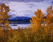 Quaking Aspen framing Teslin Lake, Teslin Lake Territorial Park, Yukon Territory, Canada.