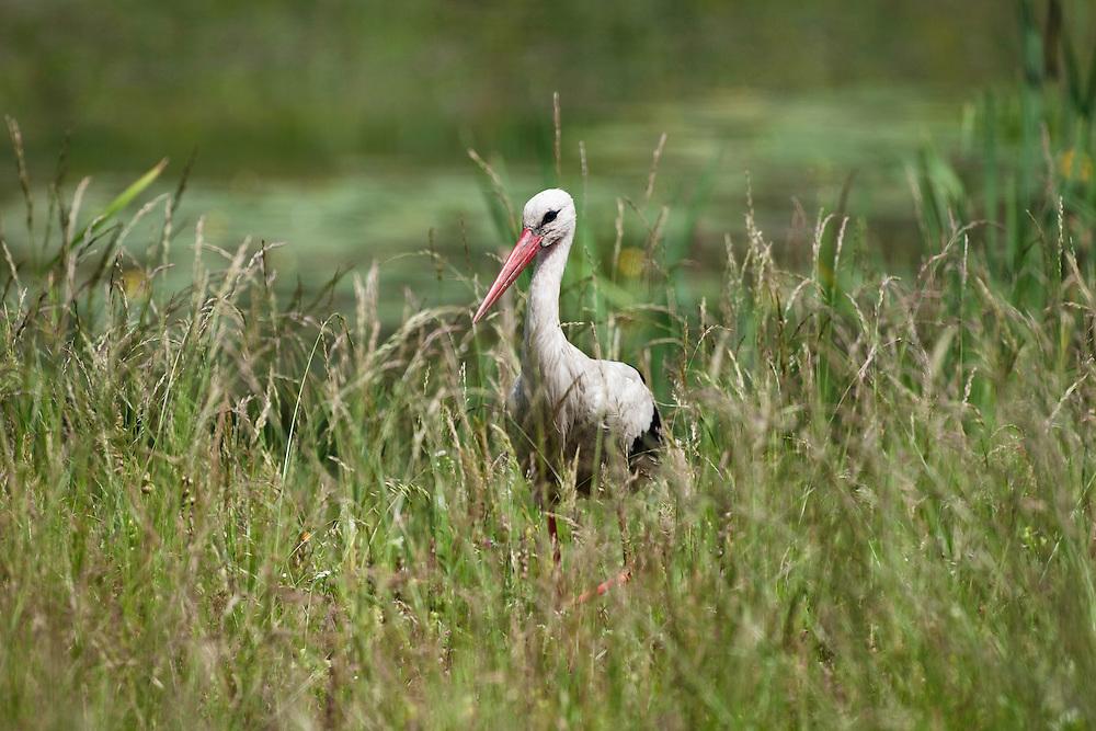 White Stork, Ciconia ciconia, Eastern Slowakia, Europe, Weißstorch, Ciconia ciconia, Ost-Slowakei, Europa
