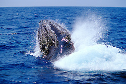 humpback whales, Megaptera novaeangliae, courtship behavior - fighting male, lunging, Big Island, Hawaii, Pacific Ocean