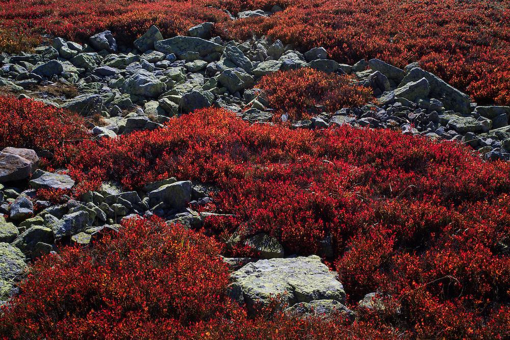 Blueberry (Vaccinium myrtillus) in bright red autumn colours on a rocky slope of Tarcu Mountains Natura 2000 site. Southern Carpathians, Munții Ṭarcu, Caraș-Severin, Romania.