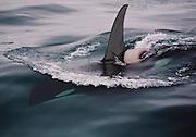 Alaska. Killer Whale (Orcinus orca) female, Resurrection Bay.