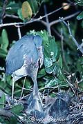 tricolor heron, Egretta tricolor, chicks begging for food, Greynolds Park, North Miami Beach, Florida, USA, North America