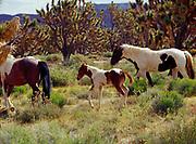 Colt with mares, Pinto Horses among Joshua Trees, Joshua Trees National Landmark, Grand Wash Cliffs, Arizona.