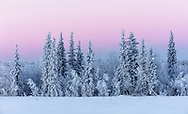 Belt of Venus and hoarfrost covered trees at sunrise in Southcentral Alaska. Winter.