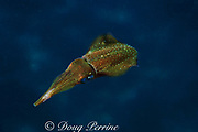 Caribbean reef squid, Sepioteuthis sepioidea, rapid color change from blue-green to golden (2 in series of 2), Commonwealth of Dominica ( Caribbean Sea )