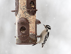 The Downy Woodpecker is a species of woodpecker, the smallest in North America. The active little Downy Woodpecker is a familiar sight at backyard feeders and in parks and woodlots, where it joins flocks of chickadees and nuthatches, barely outsizing them.