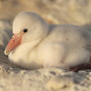 West Indian Flamingo (Phoenicopterus ruber) chick at Lake Windsor, Great Inagua, Bahamas.